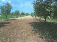Immagine n0 - Terreno Agricolo - Uliveto - Asta 208