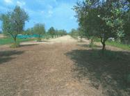 Immagine n1 - Terreno Agricolo - Uliveto - Asta 208