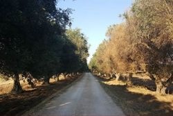 Olive grove of       mq - Lot 9818 (Auction 9818)